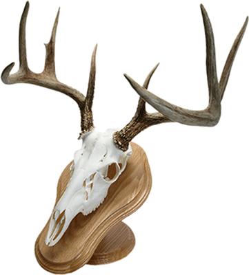 Deluxe Euro Skull Display Kit